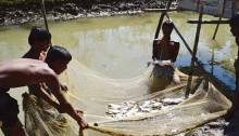 Fish harvesting by the beneficiaries of water reservoirs in the Muslimpara village of Char Kukri Mukri union, Bhola. Beneficiaries are catching fishes for selling in the local market.